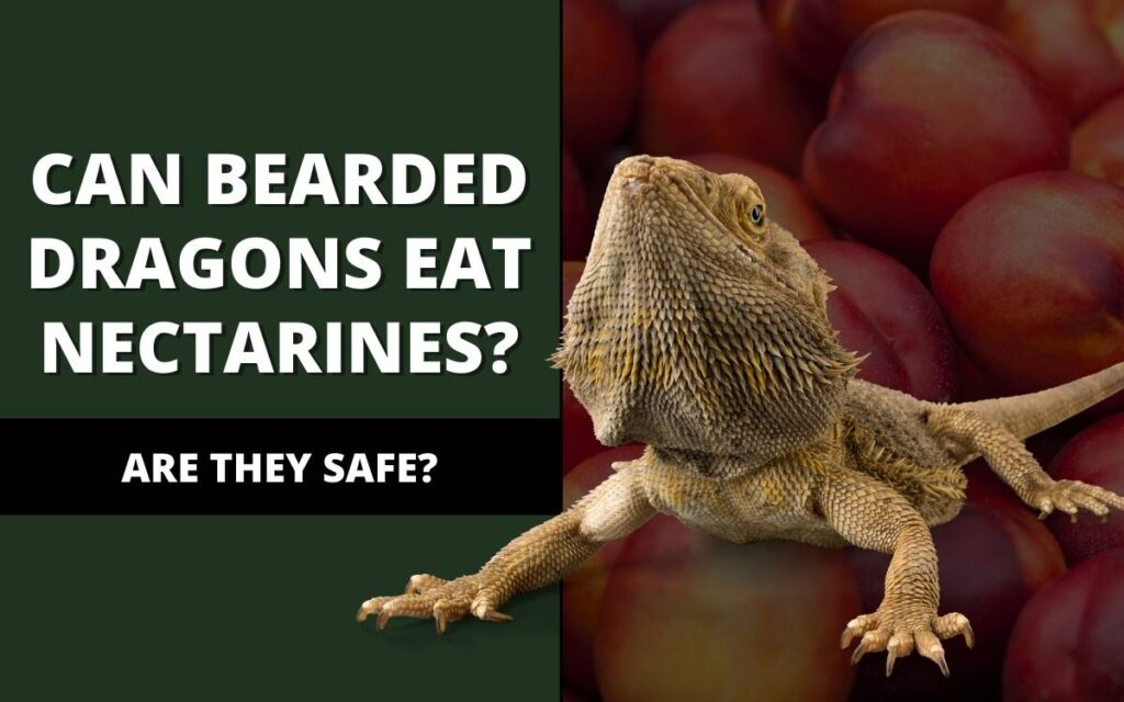can bearded dragons eat nectarines