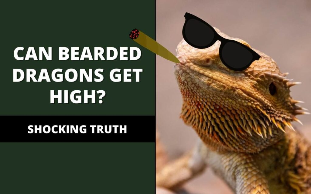 can bearded dragons get high