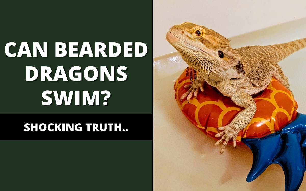 Can bearded dragons swim?
