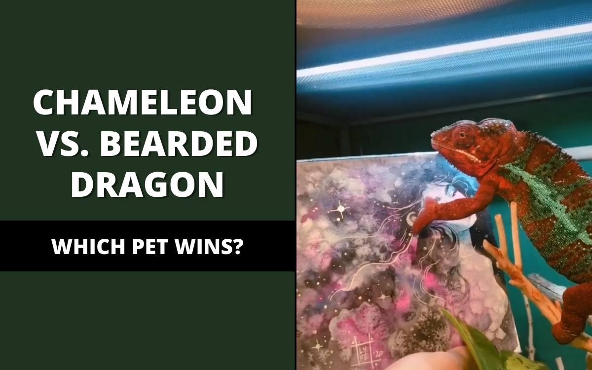 chameleon vs. bearded dragon