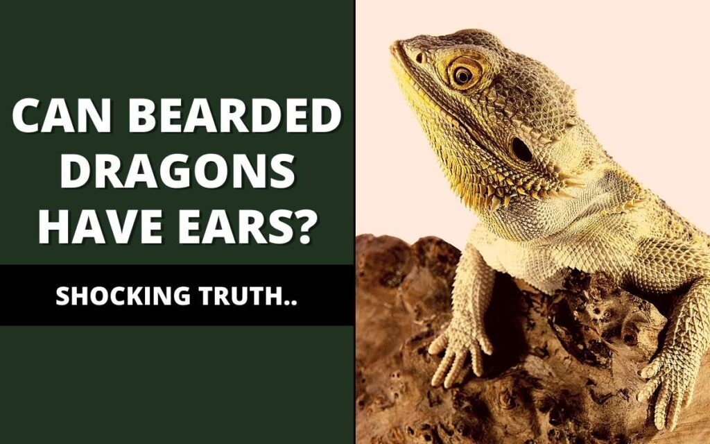 Do bearded dragons have ears?