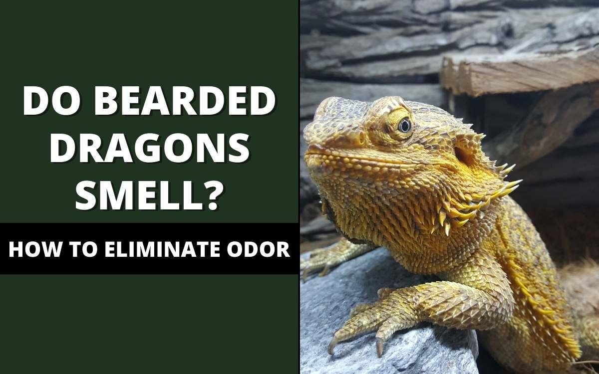 do bearded dragons smell