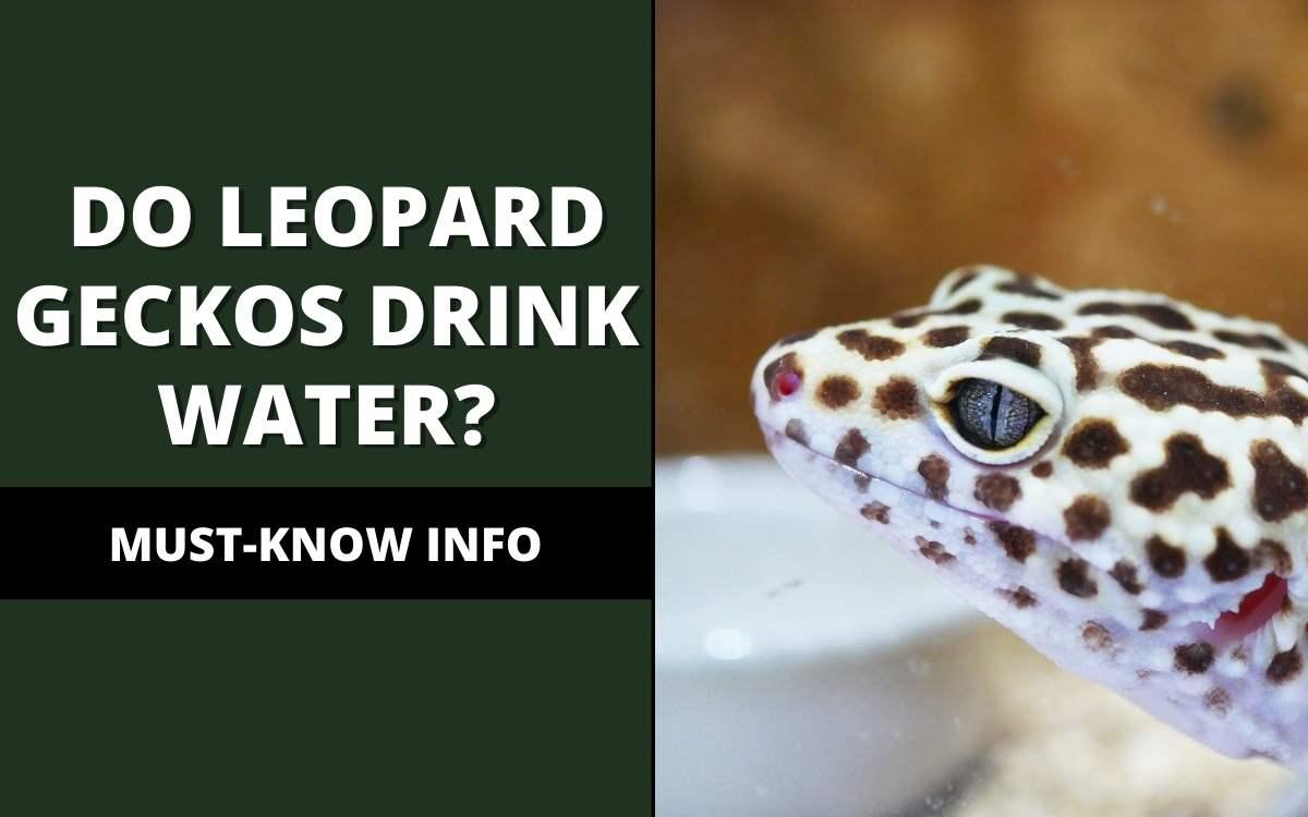 do leopard geckos drink water