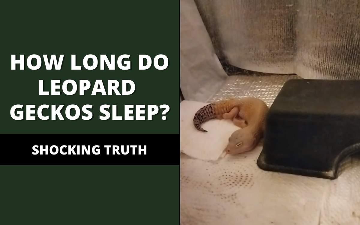 how long do leopard geckos sleep