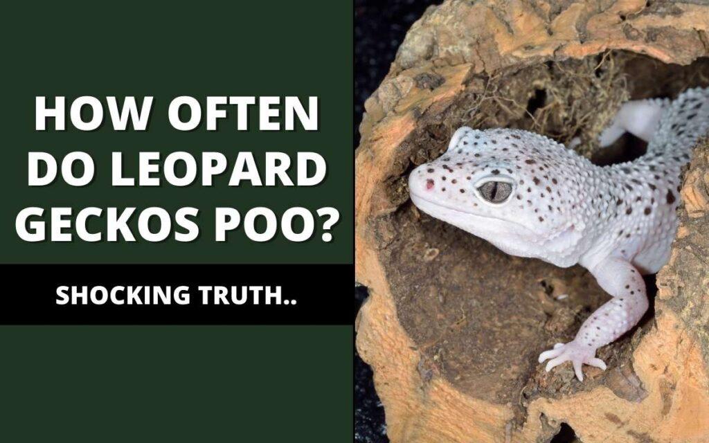 How often do leopard geckos poop?