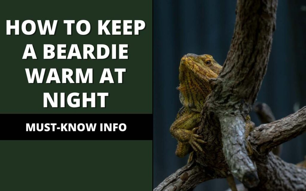 how to keep a bearded dragon warm at night
