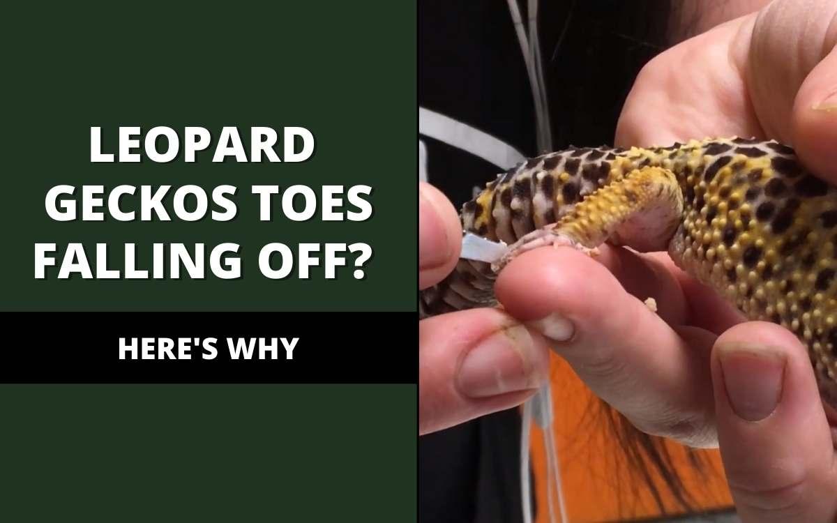 leopard geckos toes falling off