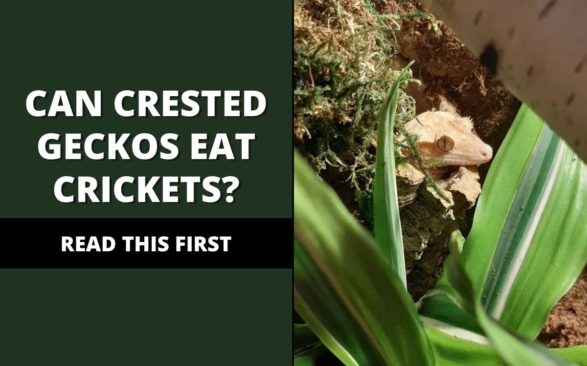 can crested geckos eat crickets