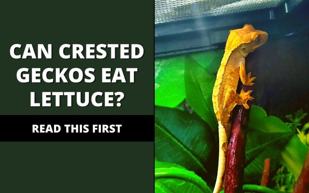 can crested geckos eat lettuce