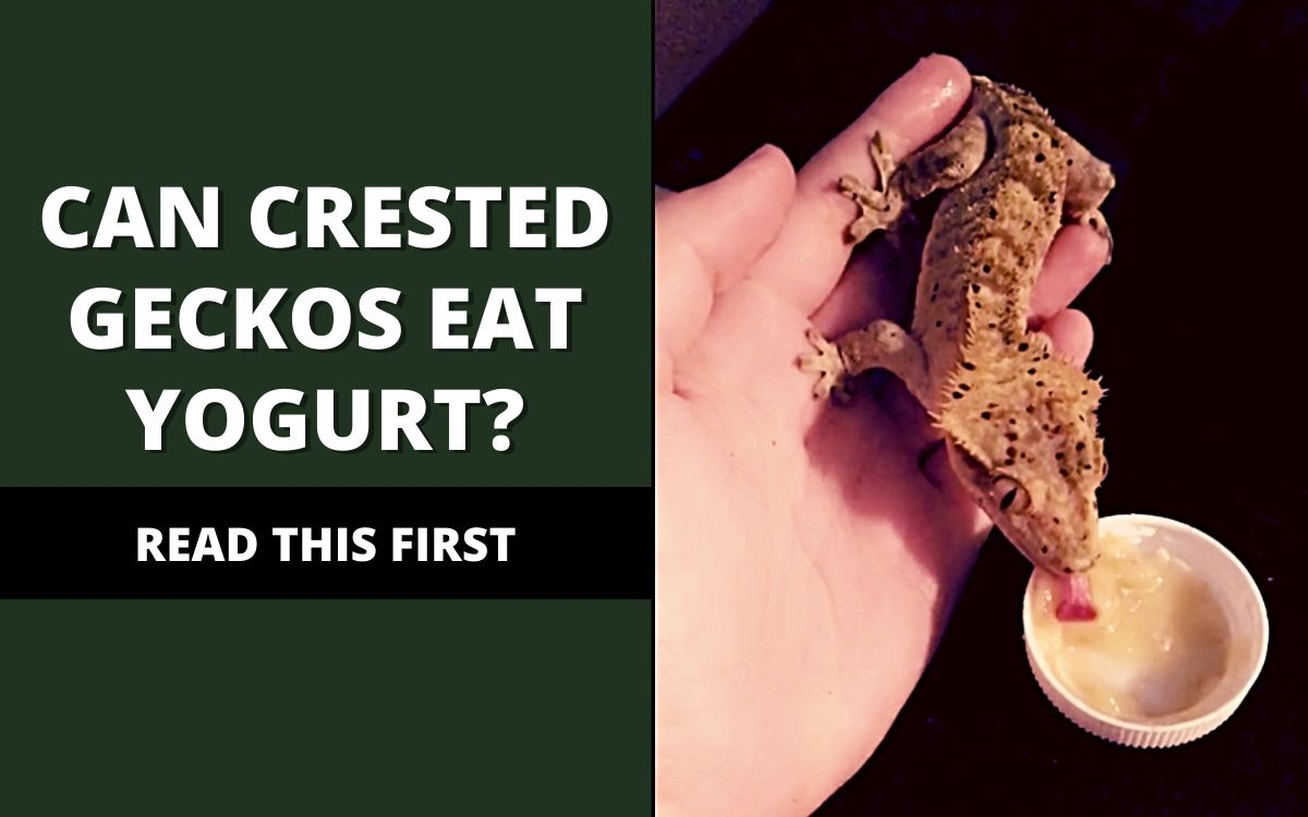 can crested geckos eat yogurt