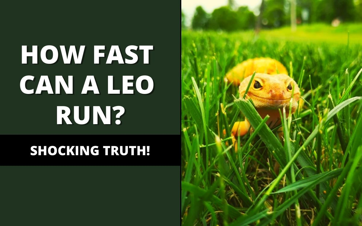 how fast can a leopard gecko run