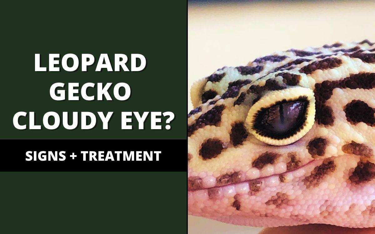 leopard gecko cloudy eye