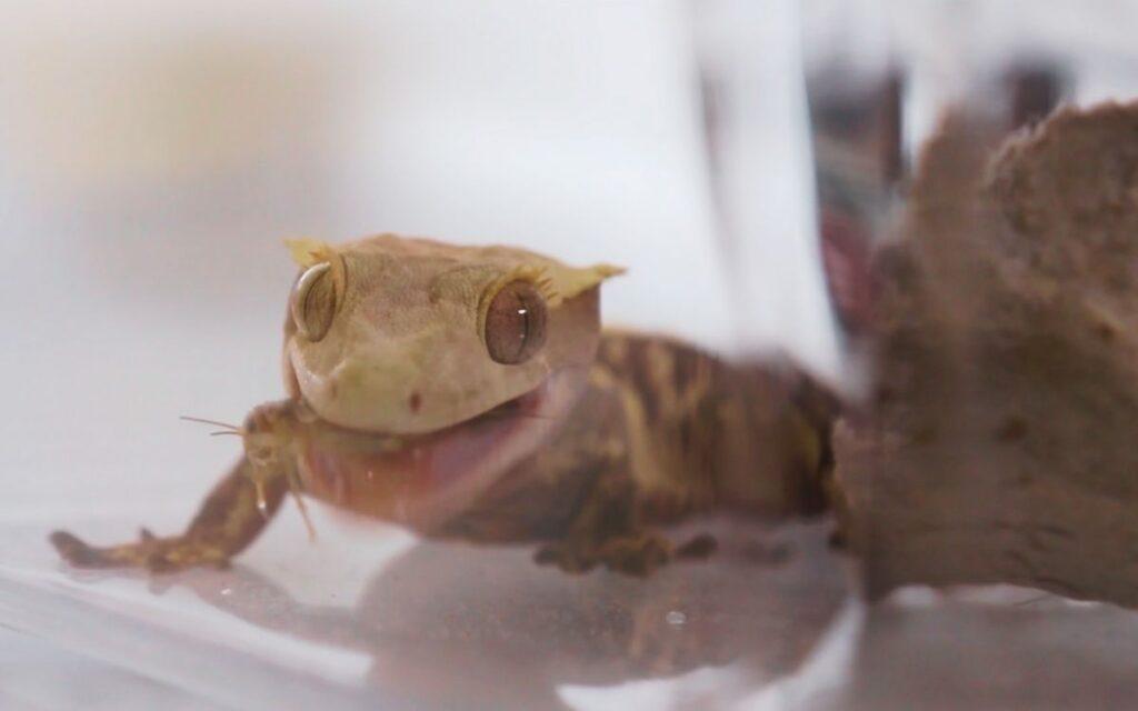 crested-gecko-eating-cricket