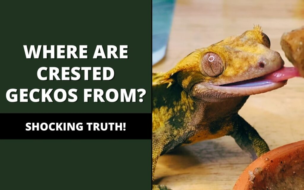 where are crested geckos from