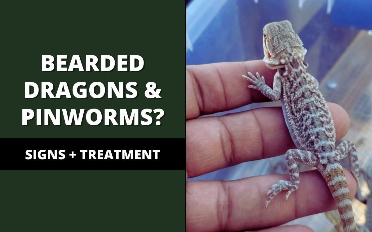pinworms in bearded dragons