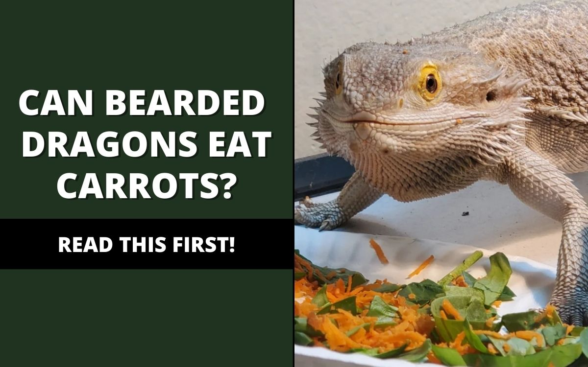 can bearded dragons eat carrots