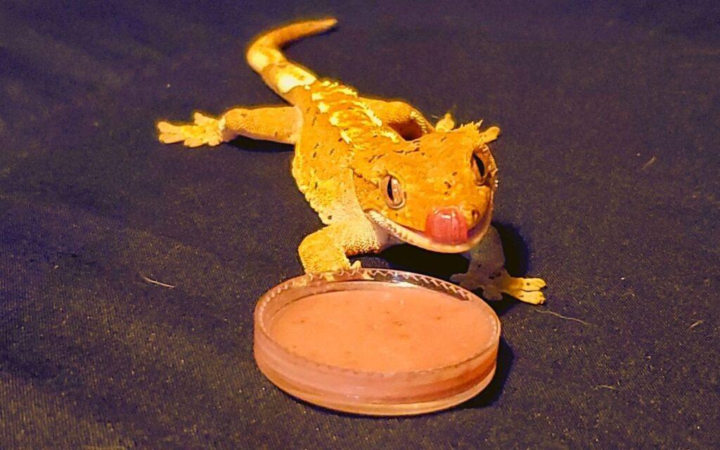 crested-gecko-eating-yogurt