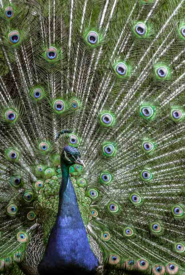closeup-peacock-fanned-tail