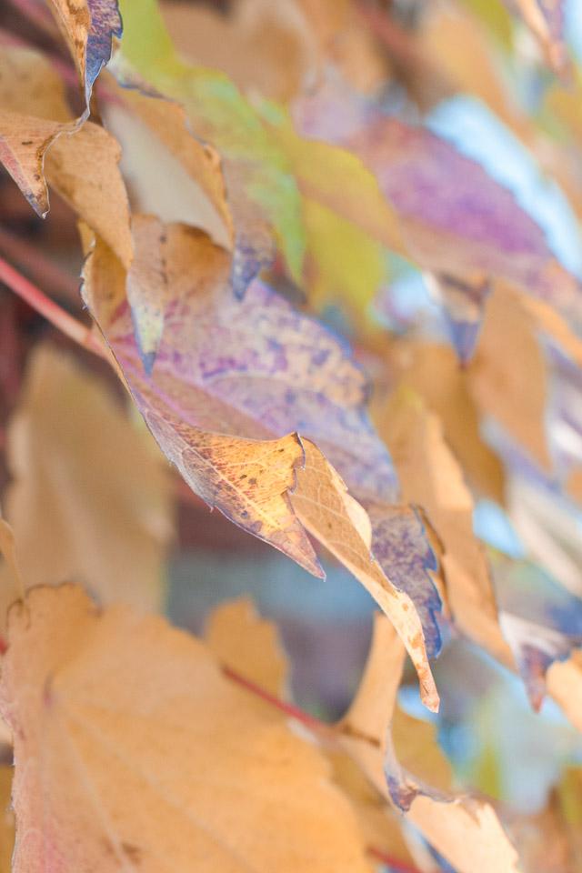orange-purple-fall-ivy