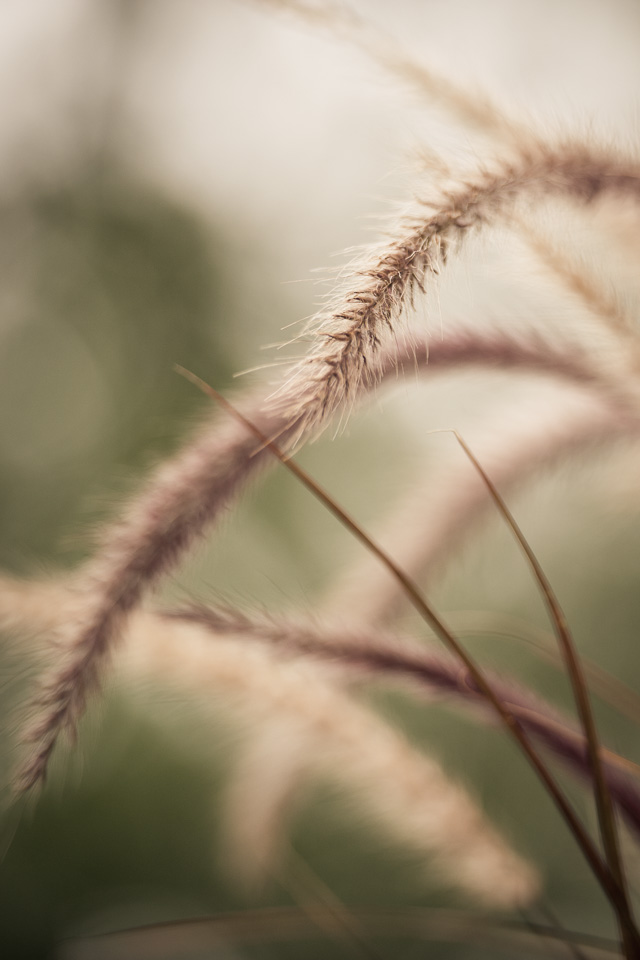 purple-green-fall-grasses