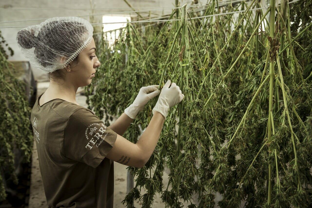 cannabis, hemp, chanvre