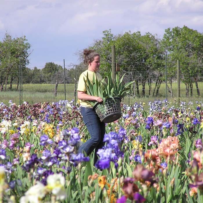 Woman with basket planting flowers in a field