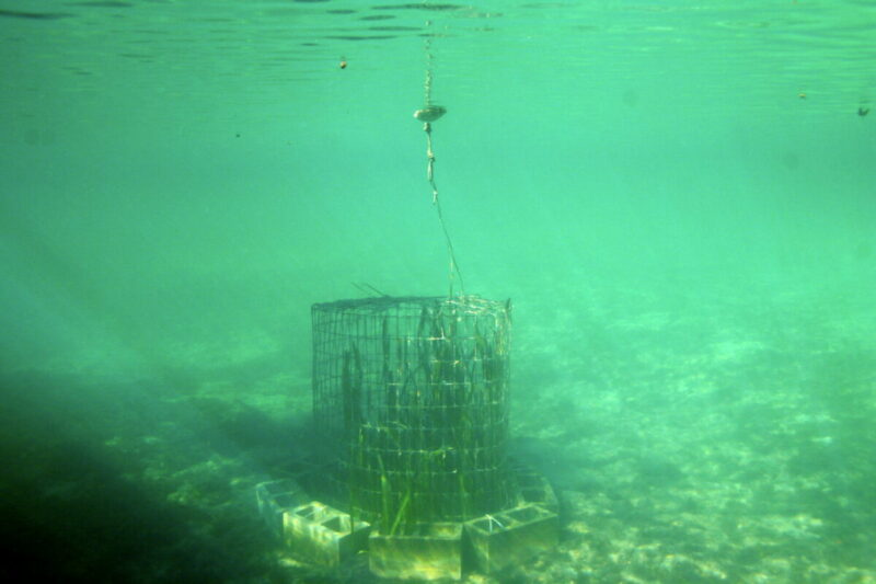 Eelgrass cage Kings bay Three Sisters