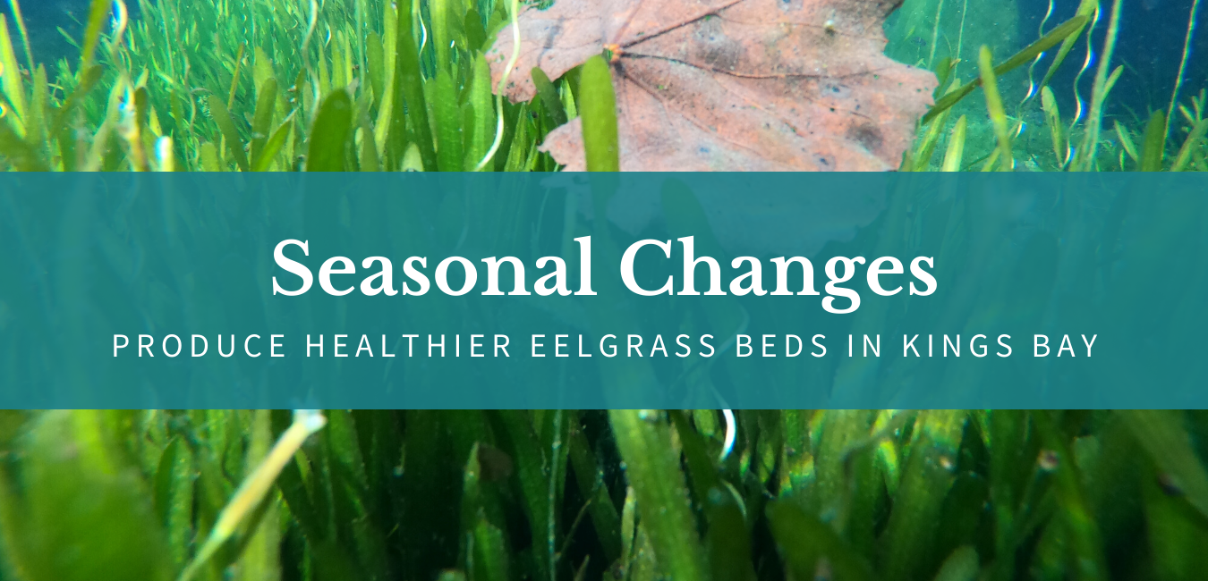 Seasonal Changes Produce Healthier Eelgrass Beds in Kings Bay
