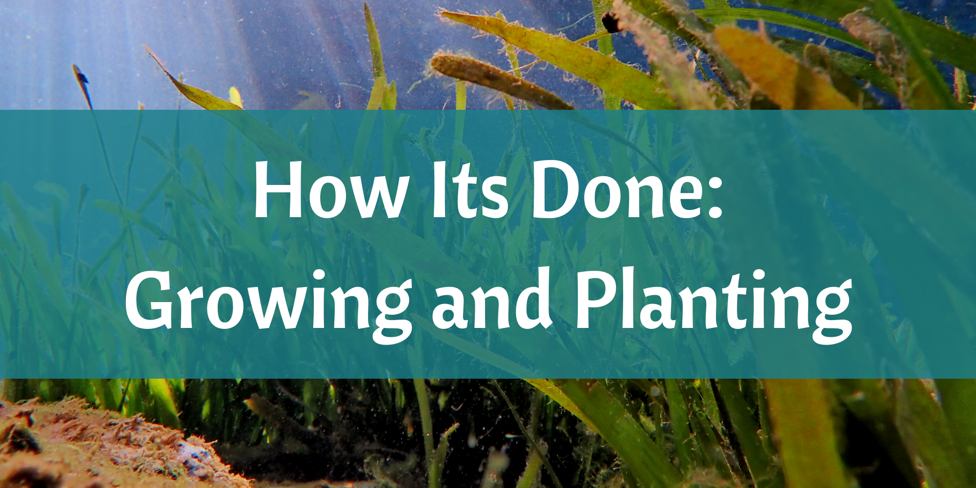 Growing and Planting Eelgrass