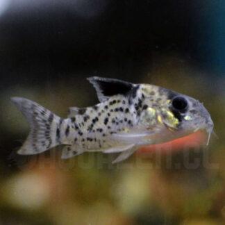 pez de acuario tropical corydora leucomela