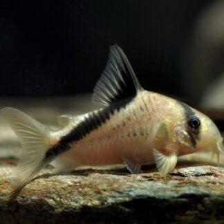corydoras-melini