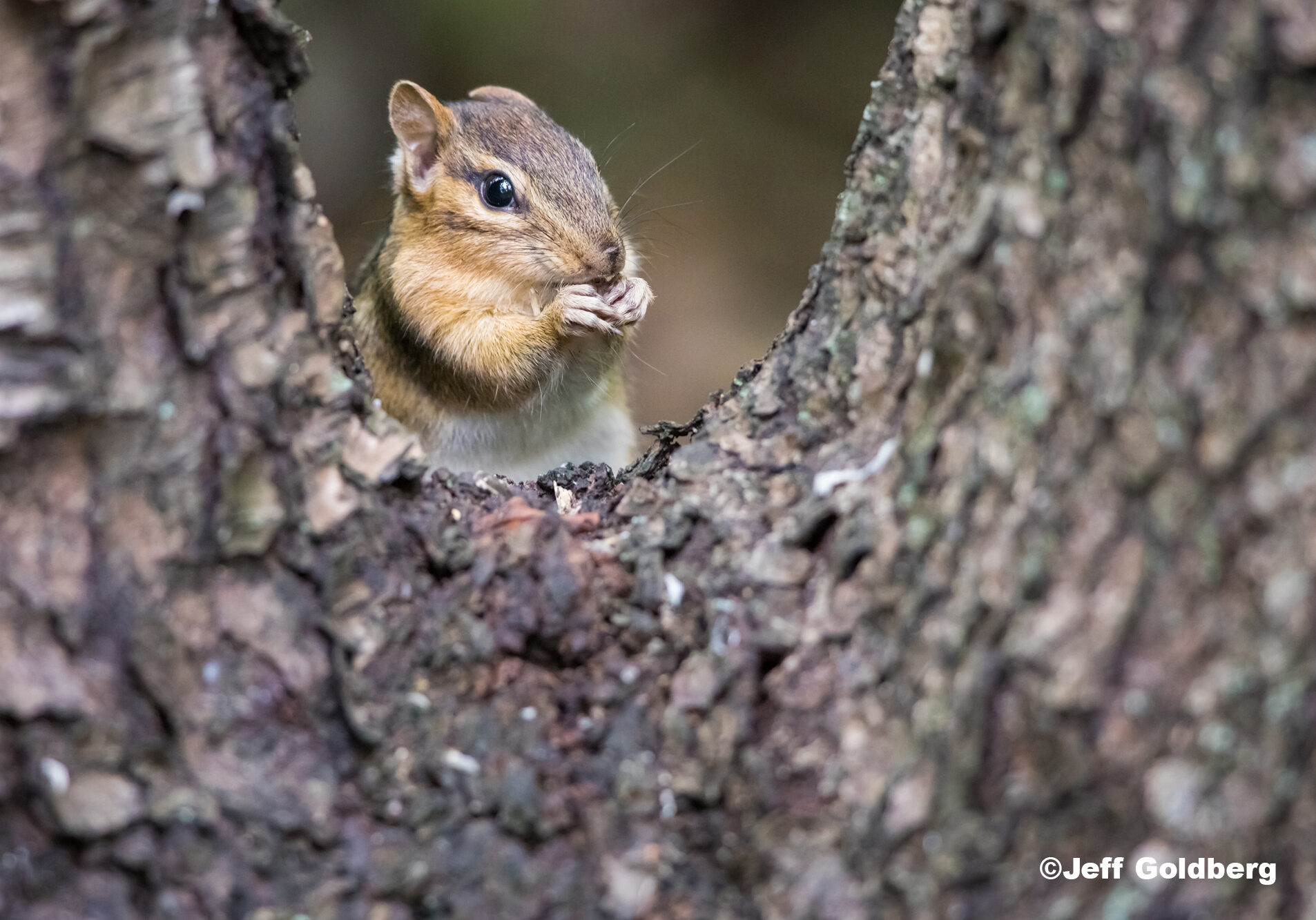 A chipmunk eats in between branches of the tree