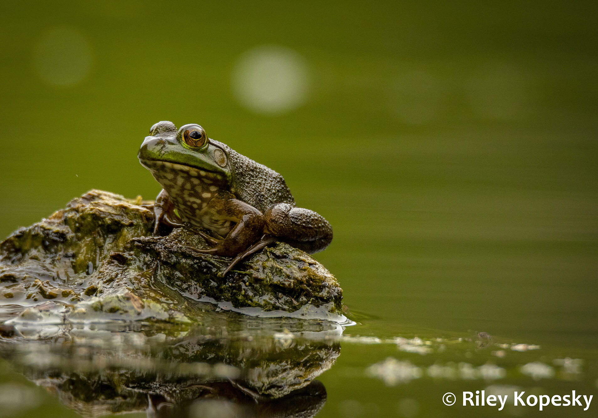 A frog sits on a rock poking out from the water