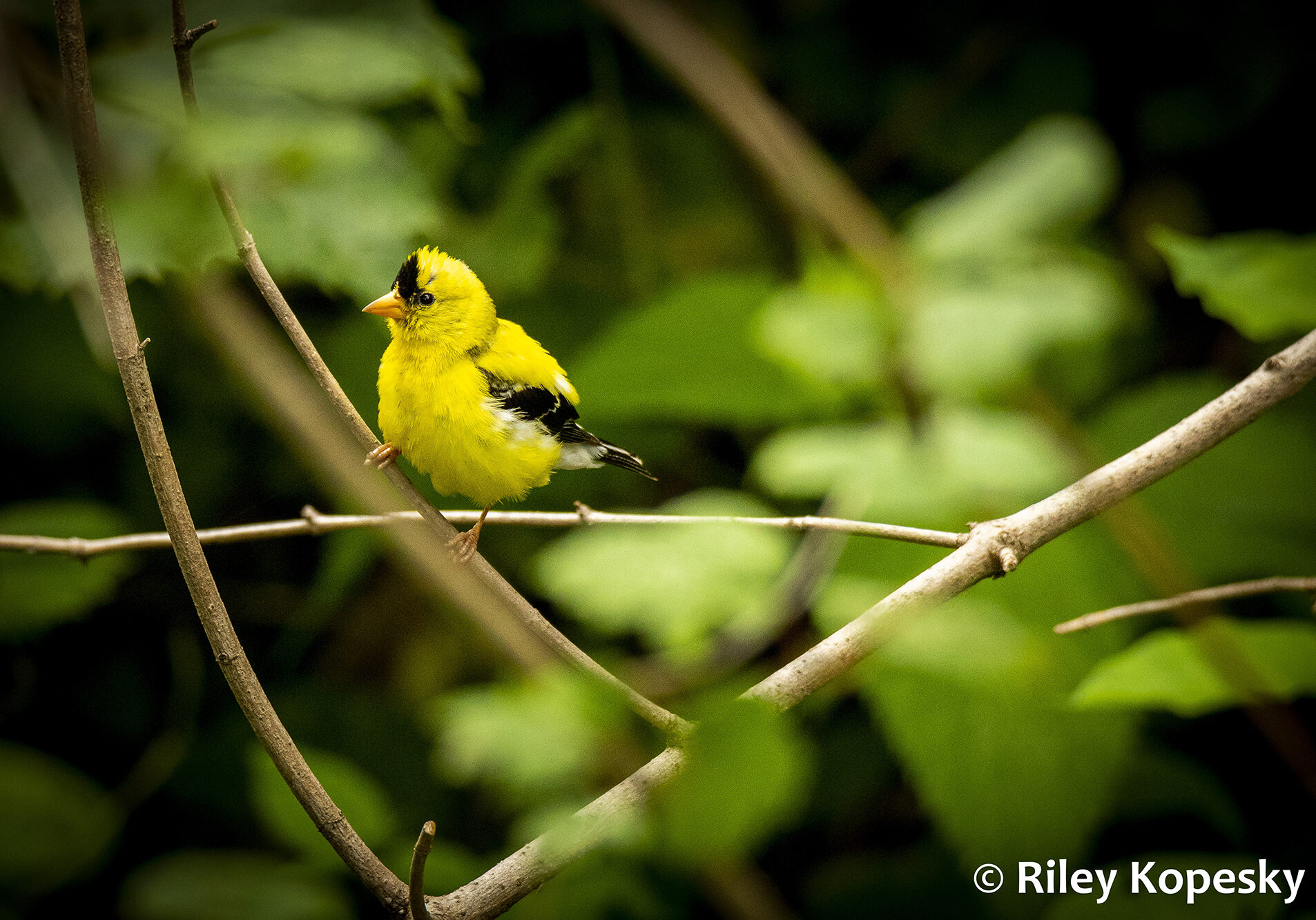 Small yellow bird sits on a twig