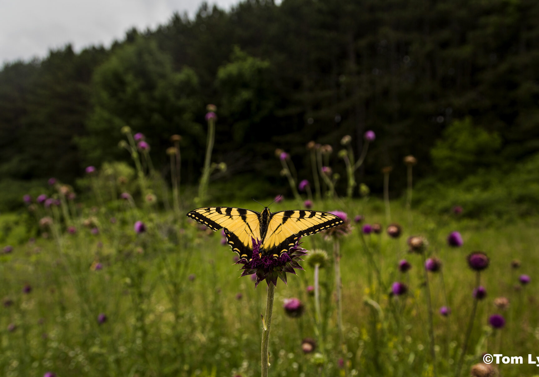 A Swallowtail butterfly sits atop a purple flower