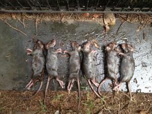dead rat lineup