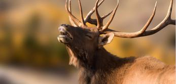 Moose mooing