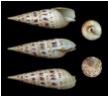 Auger Snail
