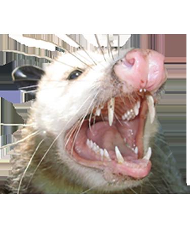 Animal Control Opossum