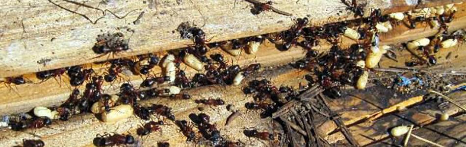 Pest Control, Exterminator, Madison WI   Kwik Kill Pest Control