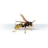 Umbrella Wasp