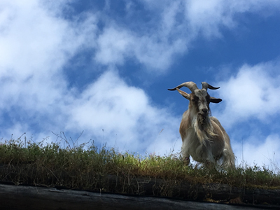 goats on roof in coombs