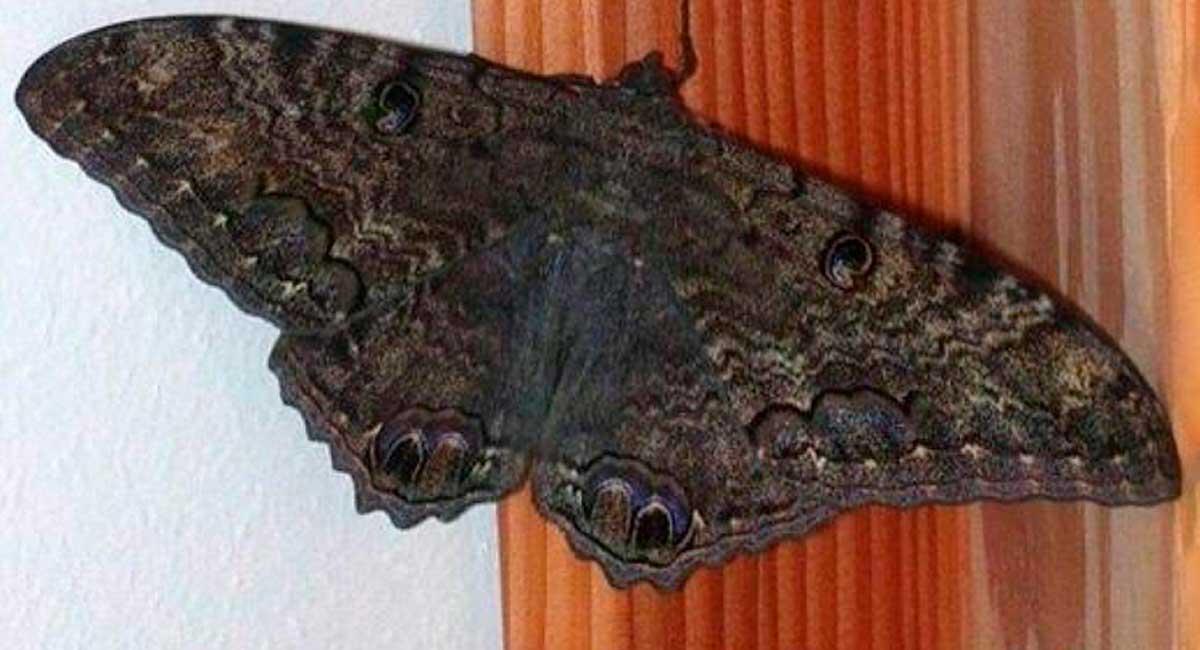 Mariposa-negra-en-casa5