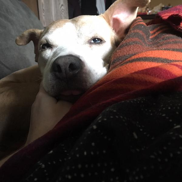 pitbull snuggles