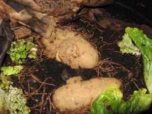 Worms with Potato Treat