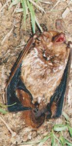Messenger Bat