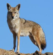 coyoted
