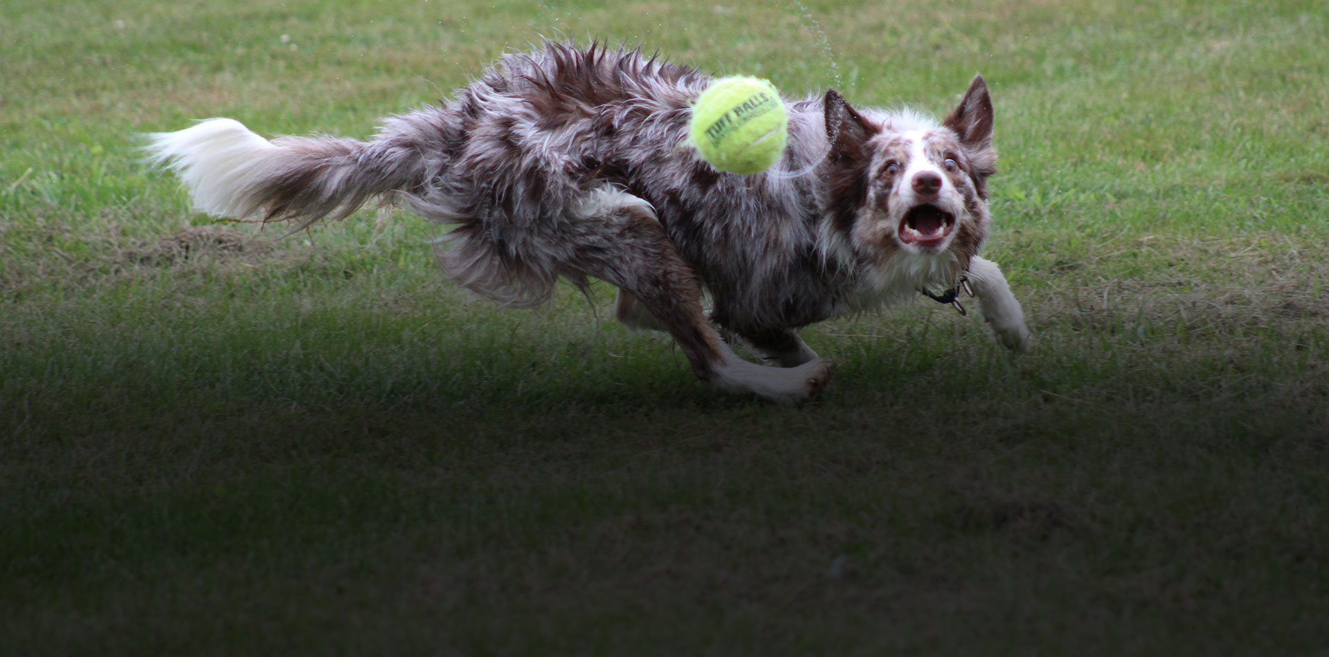 Is a Border Collie Right for You?