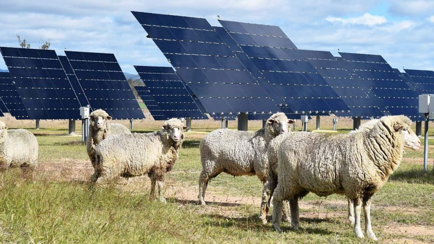 Trial of sheep grazing under solar panels shows early positive results