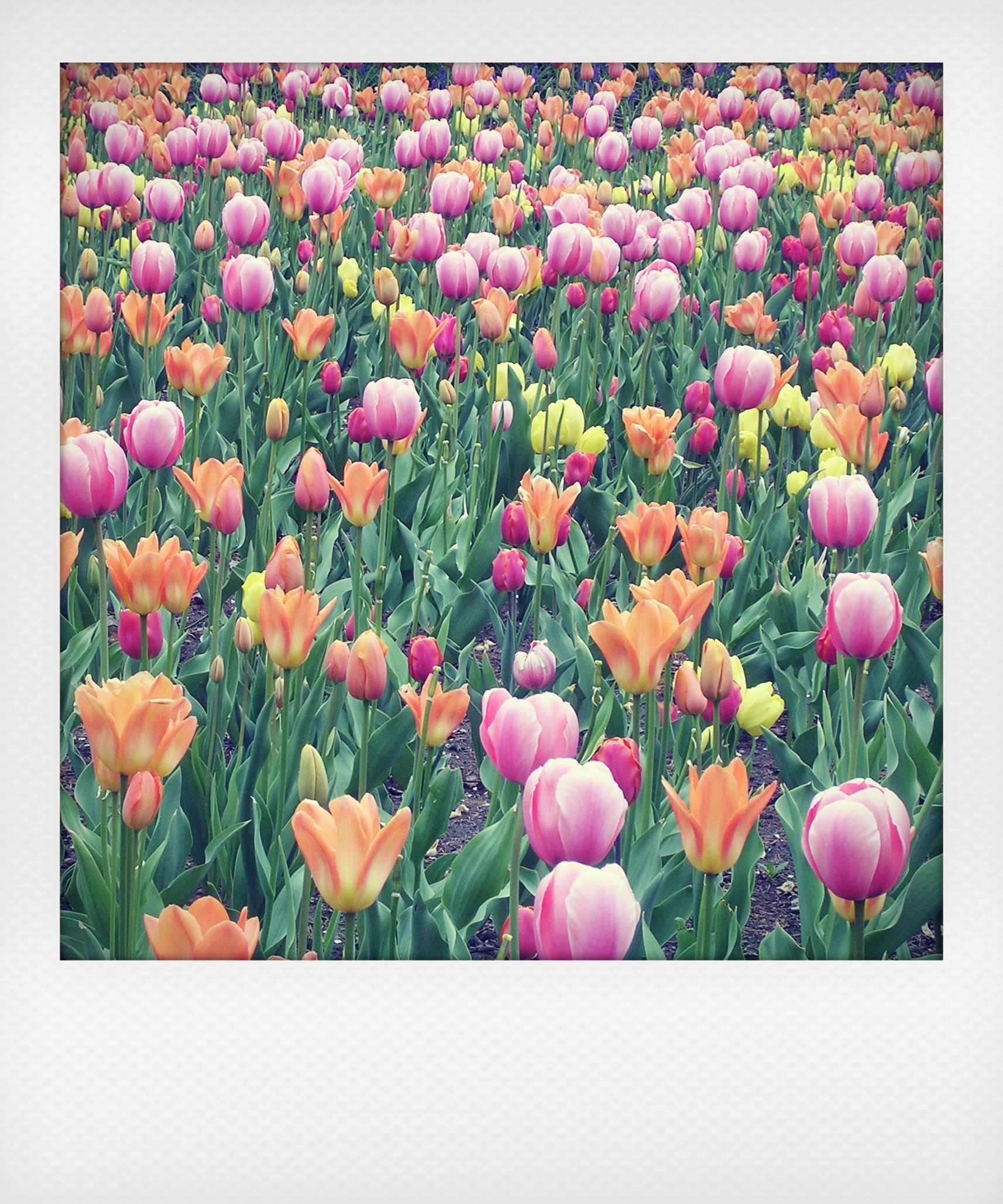In Olanda ad aprile, quando fioriscono i tulipani